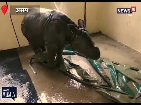 Baby rhino showered in flood-hit Kaziranga goes viral