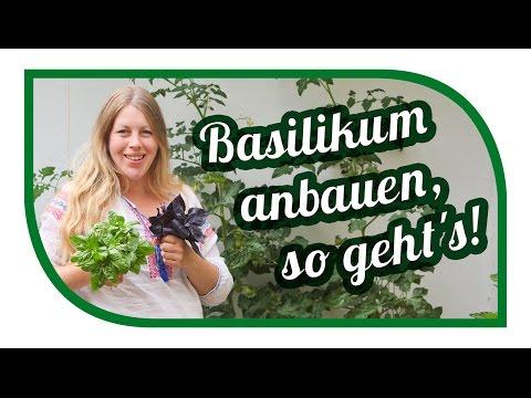 Basilikum erfolgreich anbauen 🌿 vermehren 🌿 richtig ernten
