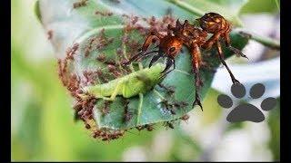 Fire Ants vs Larvae