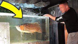 FINALLY! I moved the arowana to his aquarium