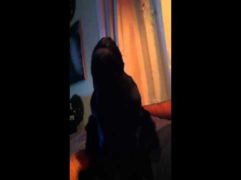 Bassador howls