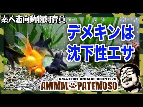 デメキンの餌は沈下性なのだ!Hikari ランチュウベビーゴールド【GOLDFISH 金魚】
