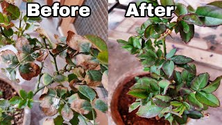 How to solve yellow Leaf Problem on Rose plant, how to save rose plant from dying