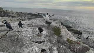 Puffin Loafing Ledge Cam 06-23-2018 03:36:00 - 04:11:56