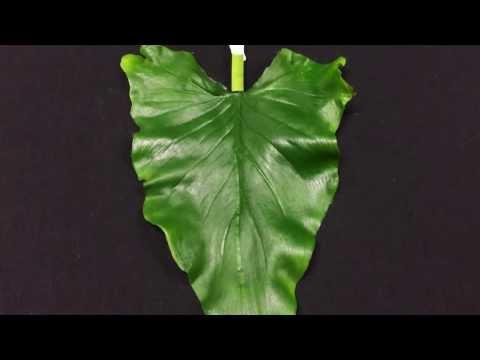 Intorno helminths di un nematode