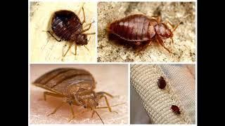 mqdefault - Клопы, тараканы