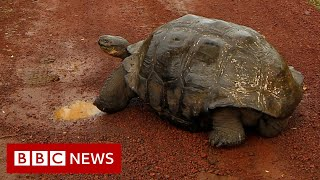 Diego, the Galápagos tortoise with a species-saving sex drive, retires - BBC News
