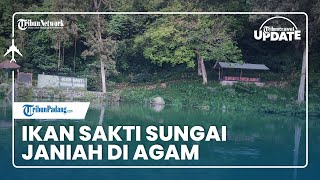 TRIBUN TRAVEL UPDATE: Melihat Ikan Sakti Sungai Janiah di Agam