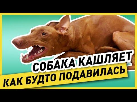 ПИТОМНИКОВЫЙ КАШЕЛЬ У СОБАКИ (как выглядит, причина и лечение) – моя собака «простудилась» и кашляет