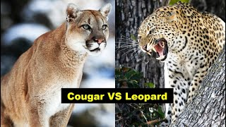 Cougar ( Mountain lion )  Vs Leopard