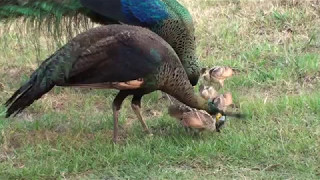 Green Peacocks chicks are afraid after an territory scream