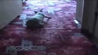 Пьяный кот  drunk cat ( прикол )