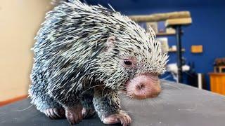 Porcupine Loves To Get Pet