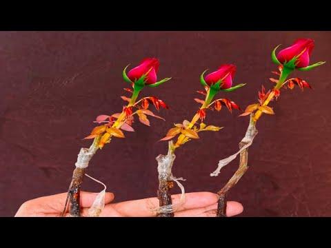 Rose Grafting