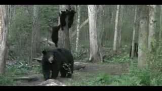 Mother Bear Sends Cubs Up Tree