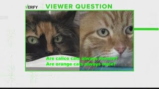 Verify: Are calico cats always female? Are orange cats always male?