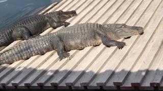 ШОК! СЪЕЛ КРОКОДИЛА MarselUSA Парк GatorLand Orlando 2.17 Ферма аллигаторов США