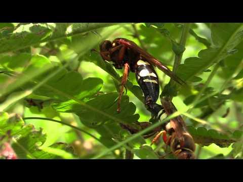 Mating Cicada Killers & Territorial Males