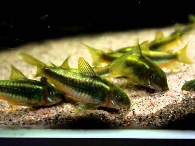 Corydoras sp CW009 Green Laser