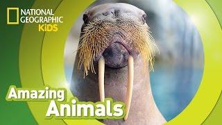 Walrus | Amazing Animals