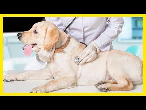 Kreislaufkollaps beim Hund: Was tun bei einer Synkope?