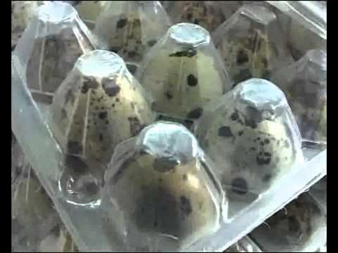 La producción de Huevos de Codorniz