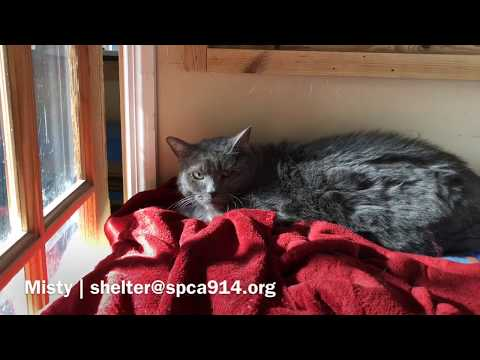 Misty, an adoptable Domestic Short Hair in Briarcliff Manor, NY