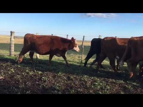 Afiche 22 Vacas preñadas  - 480kg - Artigas