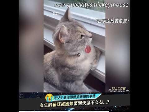 女生的貓咪被蜜蜂螫到超擔心