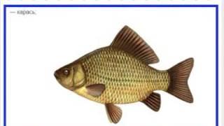 Красивые рыбы картинки.Рыбы фото и названия, КУСАРЫ.QUSAR.