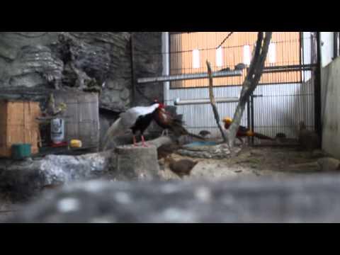 Video TERNAK PHEASANT