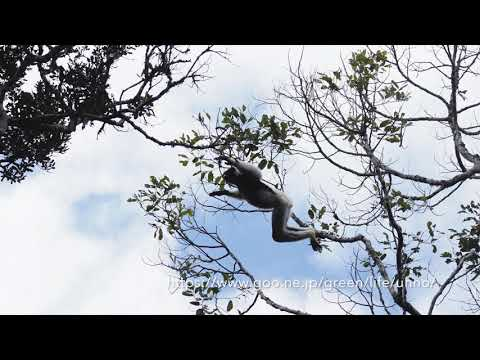 インドリのジャンプと鳴き声