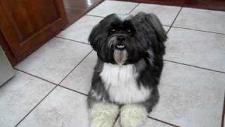Louie The Lhasa Apso Does Dog Tricks!