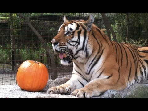 LIVE: Tigers Playing With Pumpkins and Swimming at Big Cat Rescue | The Dodo
