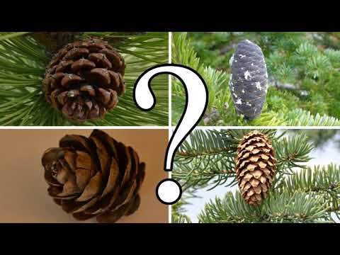 , title : 'HOW TO DISTINGUISH BETWEEN PINE, SPRUCE, FIR, and LARCH | CONIFER ID