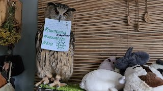 Top 10 + questions and answers about Eagle owl Yoll