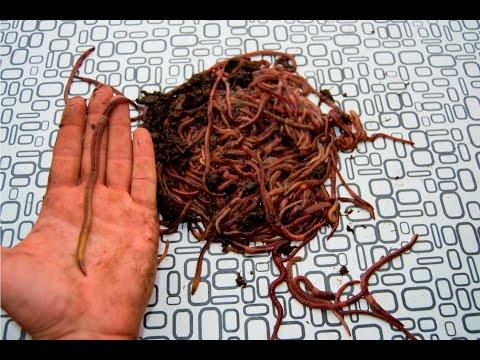 Fórum tisztítása a parazitáktól