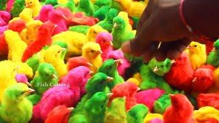 CRAZY MURGI chicks painted rang   Egg hatched 1day chicks BORN baby Choojon / Fish Cutting