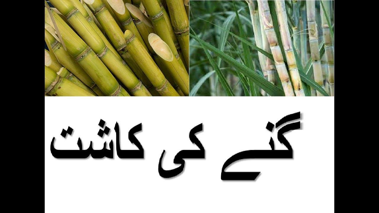 Sugarcane Product - گنے کی کاشت - Gannay Ki Kasht