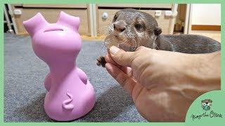 カワウソビンゴは貯金箱にお金を入れ・・?Otter Bingo Success Putting The Coin Into Piggy Bank??