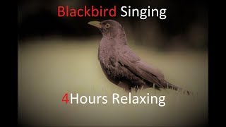 Sounds of Nature Blackbird 4 Hours of the Blackbird's Song