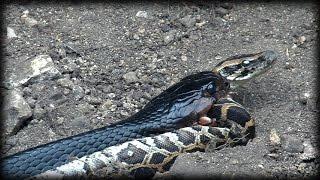 Indigo Snake Eats Python 01 - Ular Kanibalisme