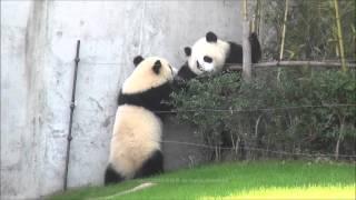 【まるでコント♪】垣根に入って飼育員さんに出される♪ 子パンダ【桜浜&桃浜】 Giant panda -Ouhin&Touhin-