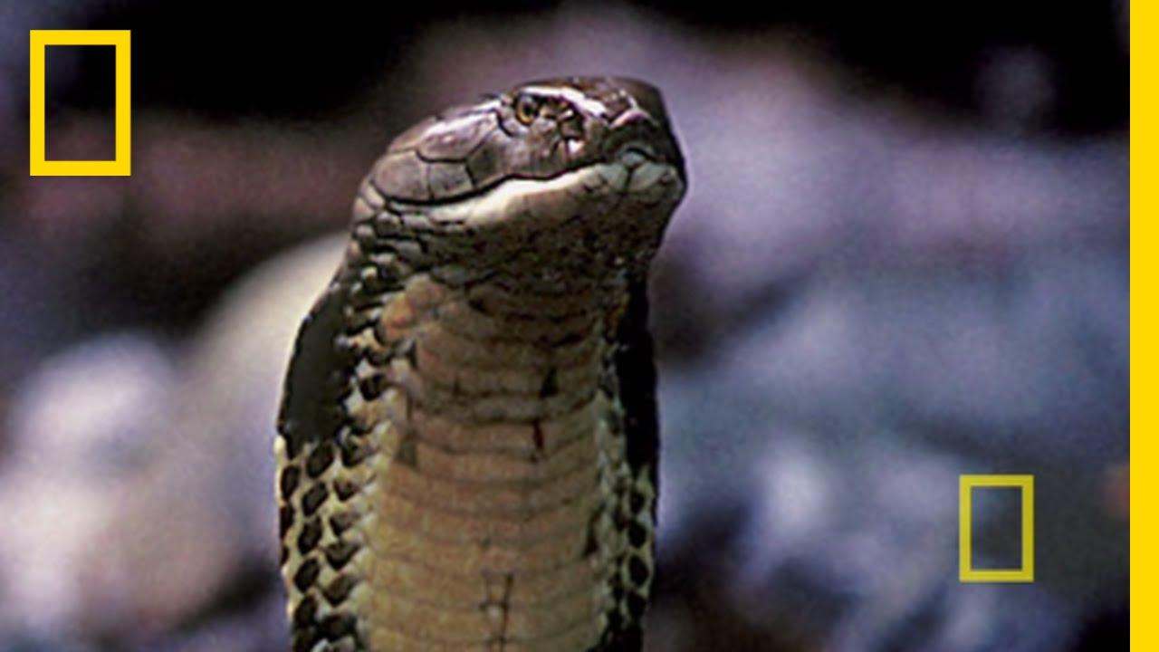 Borneo: Paradise Under Siege   National Geographic thumbnail
