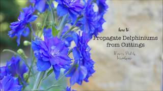 How To Take Delphinium Cuttings To Root