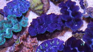 Reefs.com - All about clams!