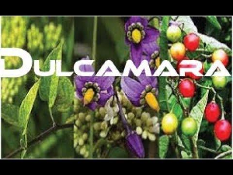 Video Dulcamara    Dulc   Dul Homeopatic Medicine / Remedy Tips For Practitioner