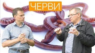 Разведение червя Старатель. Ферма изготовления биогумуса