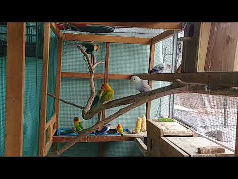 mp4 Lovebird Biola Koloni, download Lovebird Biola Koloni video klip Lovebird Biola Koloni