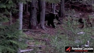Caucasian Ovcharka chases grizzly bear out of our yard